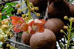 Guianensis Couroupita Цветки дерева пушечного ядра Стоковое фото RF