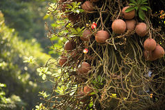 Guianensis de Couroupita conocido como árbol del obús Foto de archivo libre de regalías