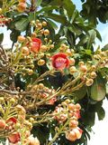 Guianensis del couroupita de la flor del árbol del obús con muchos brotes y hojas verdes foto de archivo libre de regalías