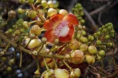 Guianensis di Couroupita (albero del sal) Immagini Stock Libere da Diritti
