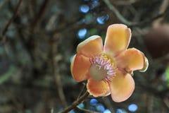 Guianensis di Couroupita o albero di fioritura della palla di cannone fotografia stock libera da diritti