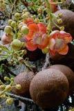 Guianensis van Couroupita De bloemen van de kanonskogelboom Stock Foto's