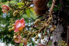 Guianensis van Couroupita De bloemen van de kanonskogelboom Stock Afbeeldingen