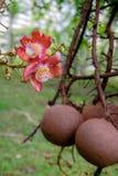 Guianensis van Couroupita De bloemen van de kanonskogelboom Royalty-vrije Stock Foto