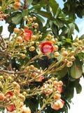 Guianensis van de bloemcouroupita van de kanonskogelboom met vele knoppen en groene bladeren royalty-vrije stock foto
