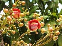 Guianensis van de bloemcouroupita van de kanonskogelboom met vele knoppen en groene bladeren stock foto's