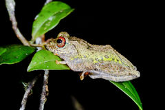 Guibe's warty treefrog, andasibe Royalty Free Stock Photo