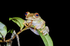 Guibe's warty treefrog, andasibe Royalty Free Stock Photography