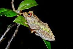 Guibe's warty treefrog, andasibe Stock Images