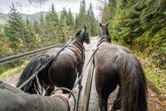 Guida della carrozza a cavalli in bella foresta, montagne parco nazionale, Polonia di Tatra immagine stock