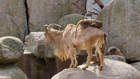 Guida della scimmia sul paesaggio della collina della capra immagine stock libera da diritti