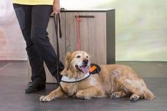 Guida e cane di assistenza Fotografia Stock
