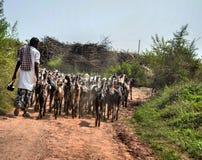 Guidage du troupeau Image stock