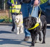 Guidance dogs for the blind. Training of guidance dogs for the blind and visually impaired royalty free stock photo