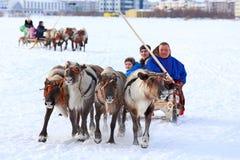 Guidando sulla neve sui gruppi cervine Fotografia Stock