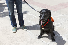Guide and assistance dog Stock Photos