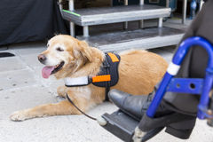 Guide and assistance dog. An assistance dog is trained to aid or assist an individual with a disability. Many are trained by an assistance dog organization, or stock images