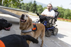 Guide and assistance dogs. Sofia, Bulgaria - June 21, 2016: An assistance dogs are shown during a performance before given to an individual with a disability Royalty Free Stock Photography