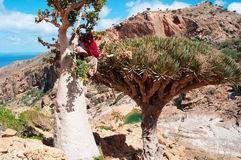 A guide climbing on a Bottle tree in the Dragon Blood Trees forest in Homhil Plateau, Socotra, Yemen Royalty Free Stock Photos