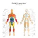 Guide d'anatomie Carte masculine de squelette et de muscles avec des explications Front View Images stock