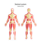 Guide d'anatomie de squelette humain Panneau didactique d'anatomie de système osseux humain Vue avant et arrière Images stock