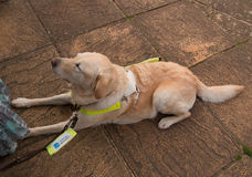 Guide dog at handler's feet Stock Image