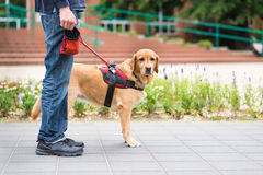 Guide dog is helping a blind man Stock Photo