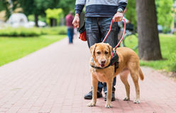 Guide dog is helping a blind man. In the city Royalty Free Stock Photo