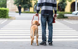 Guide dog is helping a blind man. On pedestrian crossing stock images