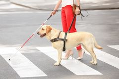 Guide dog helping blind woman. On pedestrian crossing royalty free stock image