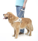 Guide dog isolated on white. With handicaped person Royalty Free Stock Images