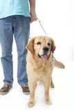 Guide dog isolated on white Stock Image