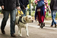 Guide dog leading a blind man on the sidewalk. A guide dog leading a bling man on the busy sidewalk.  There are people around him Royalty Free Stock Photography