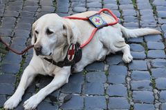 Guide dog waits patiently with his handicapped man