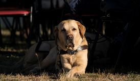 Guide Dog. A guide dog waiting orders stock image
