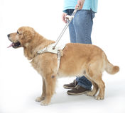 Guide dog on white stock images