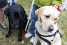 Guide dogs. Blind people and guide dogs during the last training for the animals. The dogs are undergoing various trainings before finally given to the stock photography
