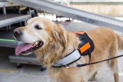Guide et chien d'aide Photographie stock libre de droits