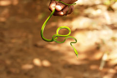 Guide takes slim green snake in hand in Sigharaja Forest Stock Image
