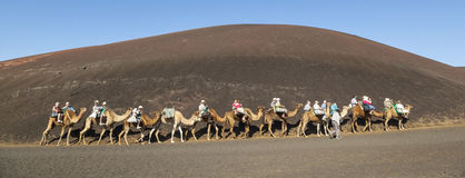 Guided camel tour in Timanfaya National Park in Lanzarote                                                          by local people Stock Photos