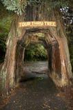 Guidi attraverso l'albero del redwood Fotografia Stock