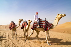 Guiding Camels in desert of Abu Dhabi, UAE. Dromedaries guided from leader.