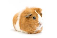 Guiena świnia - Odosobniona obraz stock