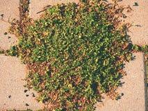 Guijarro que pavimenta el sendero con un manojo de hierba, adoquines concretos Textura de la trayectoria de piedra vieja Fotos de archivo libres de regalías