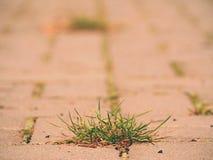 Guijarro que pavimenta el sendero con un manojo de hierba, adoquines concretos Textura de la trayectoria de piedra vieja Imagen de archivo libre de regalías