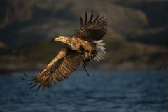 águila Blanco-atada en vuelo Fotos de archivo libres de regalías