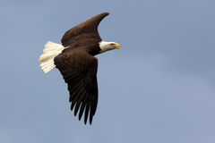 Águila calva americana en vuelo Foto de archivo