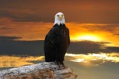 Águila calva de Alaska en la puesta del sol Imagen de archivo