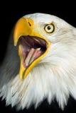 Águila calva de griterío Fotografía de archivo