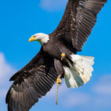 Águila calva (leucocephalus del Haliaeetus) con las alas separadas contra el cielo azul Imagenes de archivo